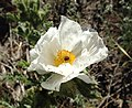 Prickly Poppy, Mono County (14698035636).jpg