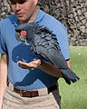 Probosciger aterrimus -San Diego Zoo, USA -perching on wrist-8a.jpg