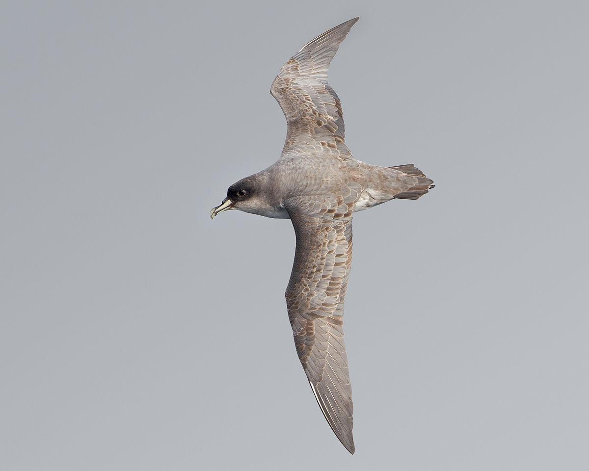 Grey petrel - Wikipedia