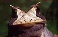 Proceratophrys boiei01a.jpg