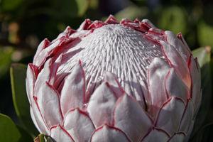 Protea cynaroides - Image: Protea flower 02