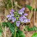 Prunella grandiflora in Aveyron 07.jpg