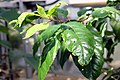 Prunus africana 6zz.jpg