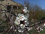 Prunus armeniaca close up flowers.jpg