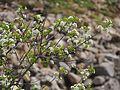 Prunus mahaleb 20160510.jpg