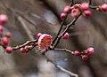 Prunus mume Peggy Clarke (70052).jpg