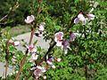 Prunus persica Kiev3.jpg