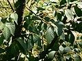Prunus serrulata leaves.jpg