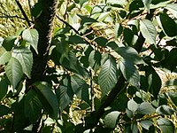 Prunus serrulata leaves.jpg