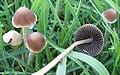 Psathyrella gracilis 132503.jpg