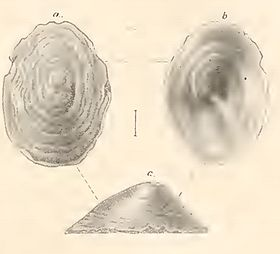Pseudococculina rugosoplicata 001.jpg