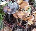 Psilocybe cyanescens Blauender Kahlkopf 01.jpg