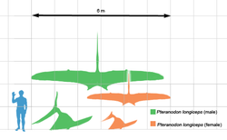 Pteranodon scale.png