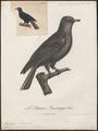 Ptilinopus madagascariensis - 1796-1808 - Print - Iconographia Zoologica - Special Collections University of Amsterdam - UBA01 IZ15600087.tif