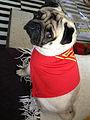 Pug Superman.jpg