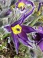 Pulsatilla halleri (Ranunculaceae) flower 1.jpg