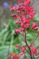 Purpurglöckchen mit Honigbiene 2.jpg