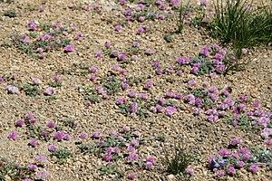 Flora of the Sierra Nevada alpine zone - Alpine Pussypaws (Cistanthe umbellata) with alpine grasses.