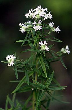 Pycnanthemum-virginianum.JPG