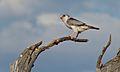 Pygmy Falcon (Polihierax semitorquatus) female (6446868435).jpg