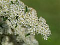 Pyracantha coccinea in Aveyron (5).jpg