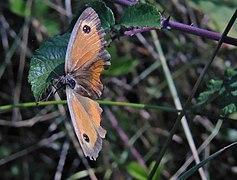Pyronia-thitonus-Spain.jpg