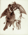 Queensland State Archives 5092 Wonga Pigeons 21 June 1894.png