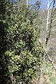 Quercus alnifolia kz3.jpg