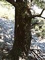 Quercus coccifera gruby okaz drzewiasty.jpg