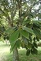 Quercus glauca kz02.jpg