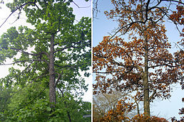 Quercus mongolica in June and October.jpg