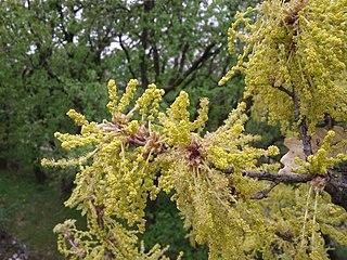 Dub plstnatý - kvety