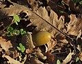 Quercus pyrenaica 20091017 1.jpg