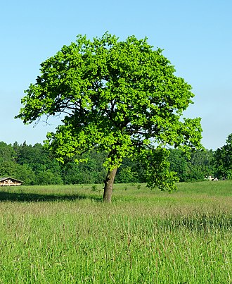 National symbols of Moldova - Image: Quercus robur alone tree