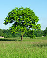 Quercus robur - alone tree.jpg