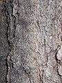 Quercus rubra 2017-05-23 0497.jpg