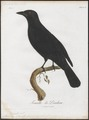 Querula purpurata - 1801 - Print - Iconographia Zoologica - Special Collections University of Amsterdam - UBA01 IZ16600123.tif