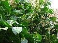 RUBIACEAE Cinchona pubescens.jpg