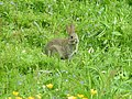 Rabbit on the Water Meadow - geograph.org.uk - 1351628.jpg