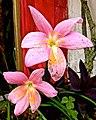 Rain Lily - panoramio.jpg