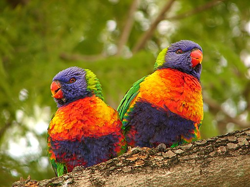 Two Rainbow Lorikeets perched on a branch, their brightly coloured feathers fluffed out