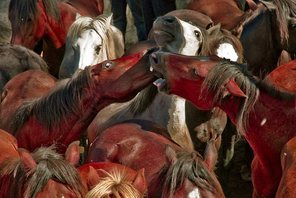 Rapa das Besta Xiabre - Pontevedra - Galicia - España