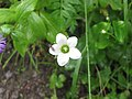 Rare flower at valley of flowers 2.jpg