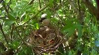 File:Red-backed shrike (Lanius collurio) in Slovakia.webm