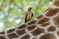 Red-billed Oxpecker (Buphagus erythrorhynchus) (17312026882).jpg