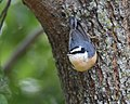 Red-breasted Nuthatch (31333054838).jpg