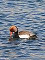 Red-crested Pochard (Netta rufina) (32667228841).jpg