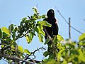 Red-winged blackbird at Point Pelee.jpg