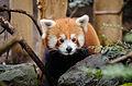 Red Panda (24567555963).jpg