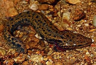 Common mudpuppy Species of salamander